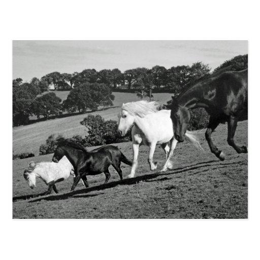 Horses At Play Postcard