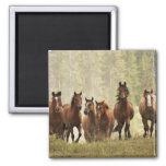 Horses cresting small hill during roundup, 2 2 inch square magnet