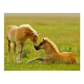 Horses foals in field. postcard
