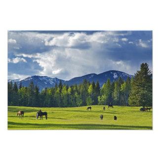 Horses graze in pasture near Whitefish, Photographic Print