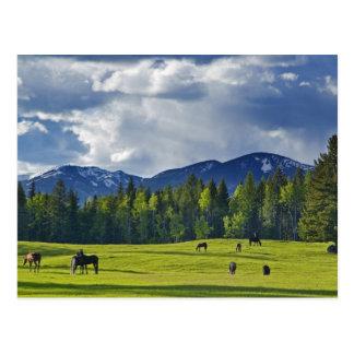 Horses graze in pasture near Whitefish, Postcard