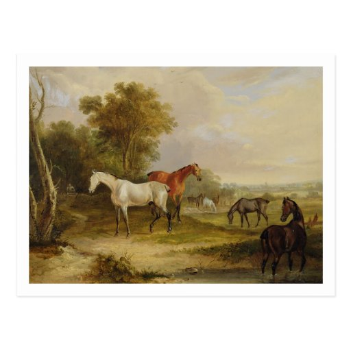 Horses Grazing: A Grey Stallion grazing with Mares Postcard