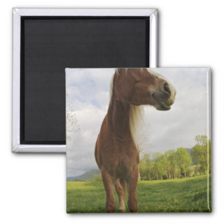 Horses grazing in meadow, Cades Cove, Great 2 Magnet