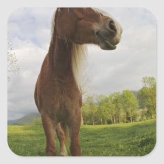 Horses grazing in meadow, Cades Cove, Great 2 Square Sticker
