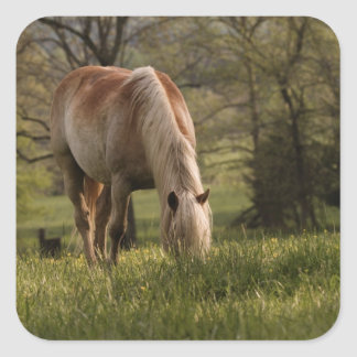 Horses grazing in meadow, Cades Cove, Great 3 Square Sticker