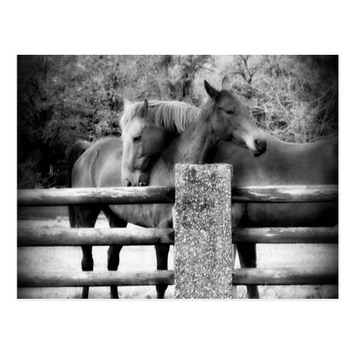 Horses Hugging - Horse Love Photograph Postcard