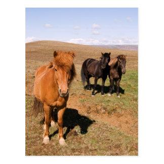 Horses in Krisuvik Postcard