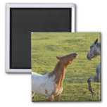 Horses in pasture near Polson, Montana 2 Inch Square Magnet