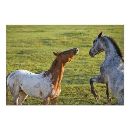 Horses in pasture near Polson, Montana Photo Print
