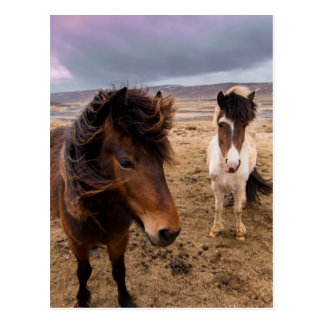 Horses of Iceland Postcard