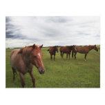 Horses On A Field Postcard