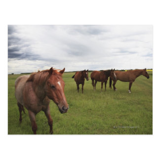 Horses On A Field Postcard