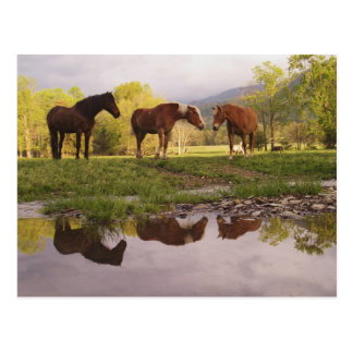Horses reflected in small stream, Cades Cove, Postcards