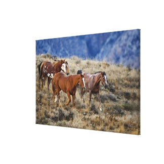 Horses roaming the scenic hills of the Big Horn 2 Canvas Print