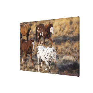 Horses roaming the scenic hills of the Big Horn Canvas Print