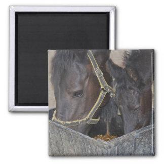 Horses sharing magnet