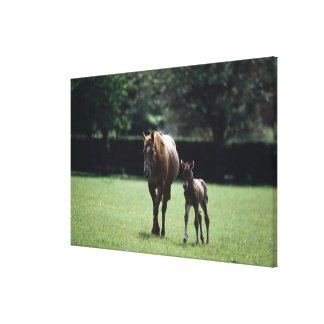Horses - Thoroughbred, Mare And Foal, Canvas Print