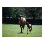 Horses - Thoroughbred, Mare And Foal, Postcards