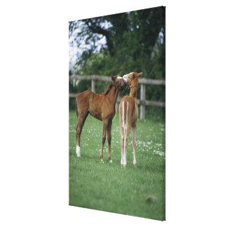 Horses - Thoroughbreds, Foals, Canvas Print