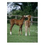 Horses - Thoroughbreds, Foals, Postcard