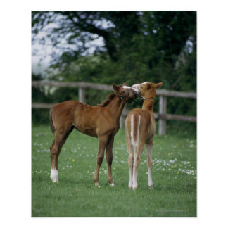 Horses - Thoroughbreds, Foals, Poster