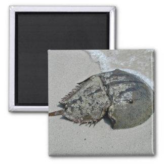Horseshoe Crab - male Fridge Magnet