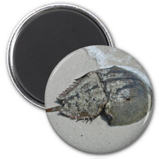 Horseshoe Crab - male Magnets