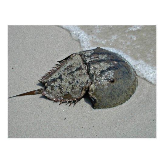 Horseshoe Crab - male Postcard