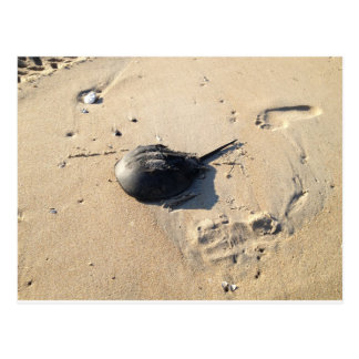 horseshoe crab postcard