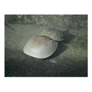 Horseshoe crabs in Key West Postcard