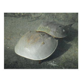 Horseshoe crabs in Key West Postcard
