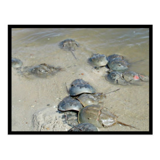 Horseshoe Crabs in water Postcard