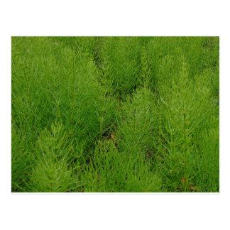 Horsetail Ferns Postcard