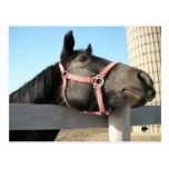 Horsing Around/Barn Horse Post Card
