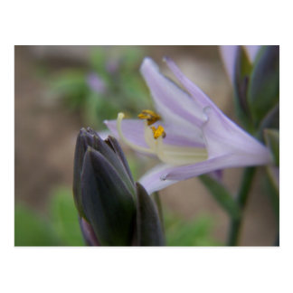 hosta bloom postcard