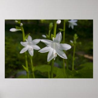 Hosta bloom print