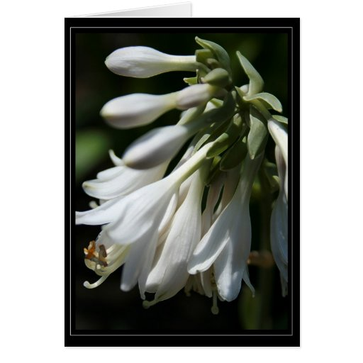 Hosta Blossoms Card