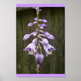 Hosta Flower Poster