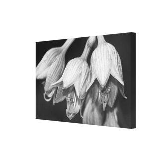 Hosta Flowers - Black And White Canvas Print
