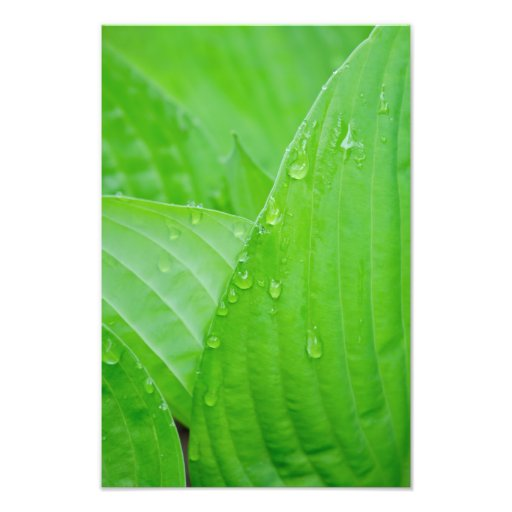 Hosta Leaves and Droplets Photography Print Photo Print