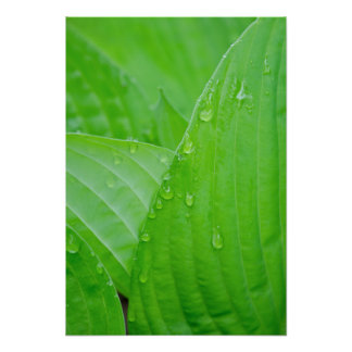 Hosta Leaves and Droplets Poster Print