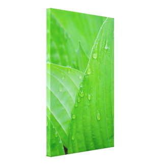 Hosta Leaves Water Droplets Canvas Print