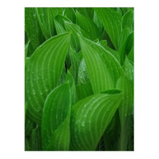 Hosta Leaves with Raindrops Postcard