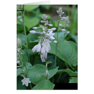 Hosta Plant  Greeting Card