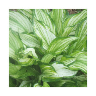 Hosta Stretched Canvas