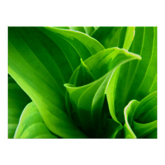 Hosta verde impresiones
