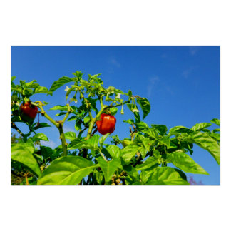 hot peppers on plant sky back 2 poster