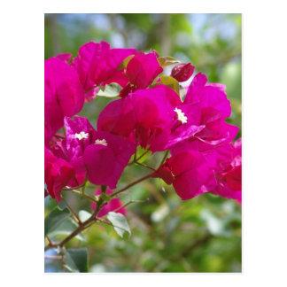 Hot pink bougainvilla post cards