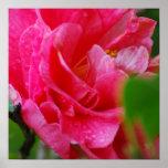 Hot Pink Camelia Flower Print