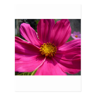 Hot Pink Cosmos Photo Postcard